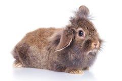 说谎在白色背景的逗人喜爱的狮子头兔子兔宝宝 免版税图库摄影
