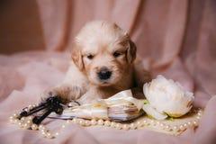 说谎在米黄透明硬沙的小狗金毛猎犬 库存图片