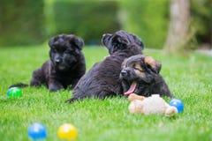 说谎在草坪的三只老德国牧羊犬小狗 免版税图库摄影