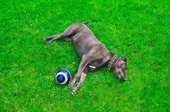 说谎在草坪的狗 免版税库存照片