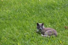 说谎在草坪的猫 免版税库存图片