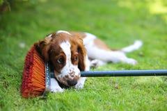 说谎在草的小狗 免版税库存图片