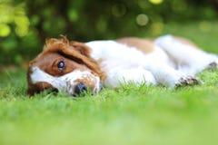 说谎在草的小狗 库存图片