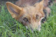说谎在草的幼小狐狸 库存图片
