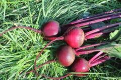 说谎在草的深紫红色甜菜 库存图片