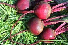 说谎在草的深紫红色甜菜 库存照片