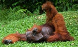 说谎在草的老公猩猩 滑稽的姿势 印度尼西亚 加里曼丹婆罗洲海岛  库存图片