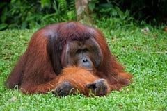 说谎在草的老公猩猩 滑稽的姿势 印度尼西亚 加里曼丹& x28海岛; Borneo& x29; 图库摄影
