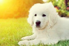说谎在草的逗人喜爱的白色小狗 擦亮Tatra护羊狗 免版税库存图片