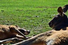 说谎在草的野生两只红色爱袋鼠 库存图片
