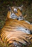 说谎在草的野生老虎 印度 17 2010年bandhavgarh bandhavgarth地区大象印度madhya行军国家公园pradesh乘驾umaria 中央邦 免版税库存图片