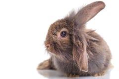 说谎在被隔绝的背景的狮子顶头兔子兔宝宝 免版税库存照片