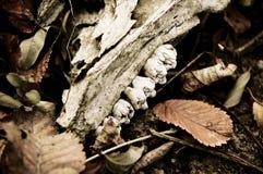 说谎在退色的叶子中的动物头骨片断 免版税库存图片