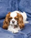 说谎在长沙发的西班牙猎狗狗 库存图片