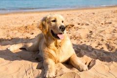 说谎在青岛金黄沙子的金毛猎犬小狗  库存图片