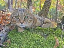 说谎在青苔的猫在森林 免版税库存图片
