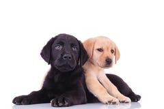 说谎在黑小狗顶部的黄色小的拉布拉多猎犬 免版税库存照片
