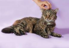 说谎在紫色和人的手上的滑稽的镶边猫抚摸她的ha 免版税图库摄影
