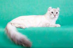 说谎在绿色背景的白色蓬松猫 免版税库存照片