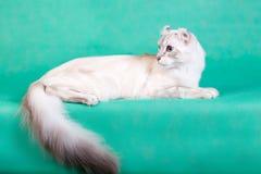 说谎在绿色背景的白色蓬松猫 免版税库存图片