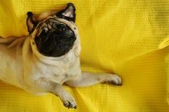 说谎在黄色背景的滑稽的哈巴狗狗 免版税库存图片