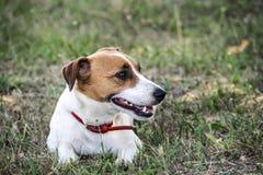 说谎在绿草的一条小狗杰克罗素狗 一只休息的宠物 免版税库存图片