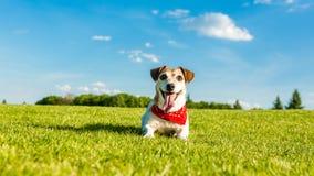 说谎在绿草的嬉戏的宠物杰克罗素狗 免版税图库摄影