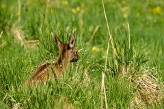 说谎在绿草的鹿 免版税图库摄影