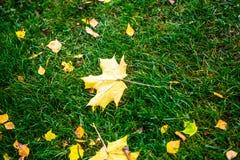 说谎在绿草的黄色枫叶 免版税库存图片