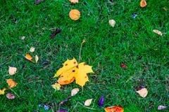 说谎在绿草的黄色枫叶 图库摄影