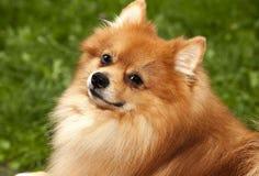 说谎在绿草英俊的纯血统波美丝毛狗的fa的红色卷毛狗 免版税库存照片