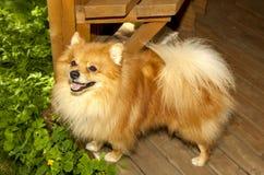 说谎在绿草英俊的纯血统的动物的红色卷毛狗 库存图片