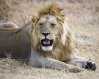 说谎在Ngorongoro火山口的地面上的狮子的特写镜头 免版税库存照片