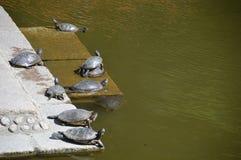 说谎多只日本的乌龟在阳光下 库存照片
