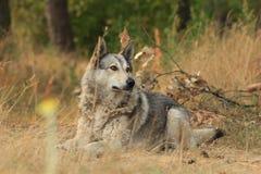 说谎灰色的狗户外 免版税图库摄影