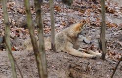 说谎的休息的欧洲狼天狼犬座 库存照片