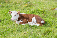 说谎的公牛小牛 库存照片