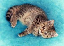 说谎的小猫蓝色毯子 图库摄影