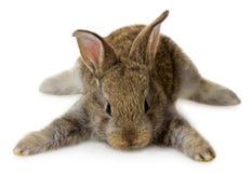 说谎的小的灰色兔子 库存图片