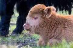 说谎的布朗新出生的苏格兰高地居民小牛头  免版税库存照片