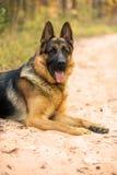 说谎的德国牧羊犬画象  免版税库存照片