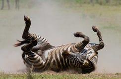 说谎的斑马尘土肯尼亚 坦桑尼亚 国家公园 serengeti 马赛马拉 免版税库存图片