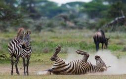 说谎的斑马尘土肯尼亚 坦桑尼亚 国家公园 serengeti 马赛马拉 免版税图库摄影