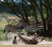 说谎的斑马尘土肯尼亚 坦桑尼亚 国家公园 serengeti 马赛马拉 库存照片