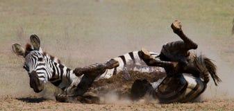 说谎的斑马尘土肯尼亚 坦桑尼亚 国家公园 serengeti 马赛马拉 免版税库存照片