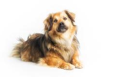 说谎的狗在演播室,白色背景 免版税库存照片