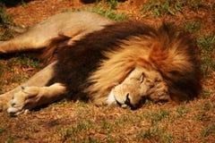 说谎的狮子 免版税库存照片