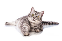 说谎的猫 库存照片