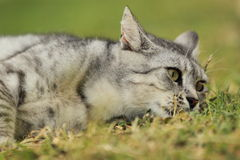 说谎的猫 免版税库存照片