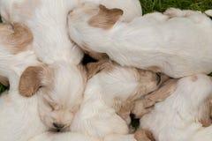 说谎的英国猎犬小狗家庭  免版税库存照片
